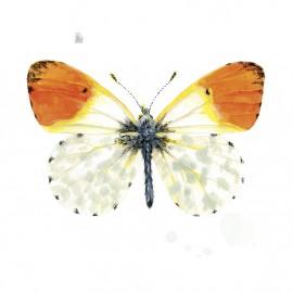 Antocharis butterfly