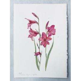 Gladiolus illyricus
