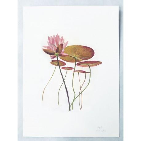 Nymphaea alba